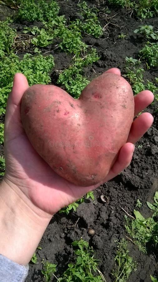 Kartoflany serce zdjęcie stock
