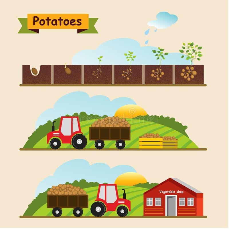 Kartoflany wzrostowy cykl roślina Kolekcja i dostawa royalty ilustracja