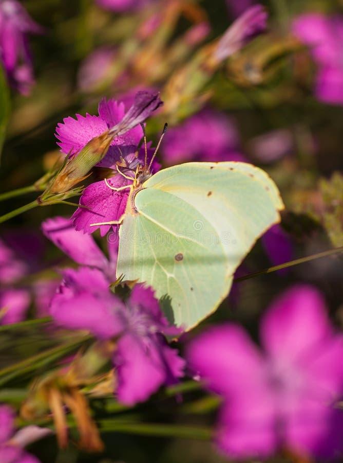 Kartuzjańska menchia kwitnie z Brimstone motylem fotografia stock
