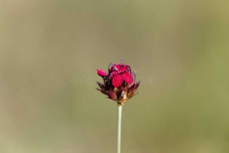 Kartuzjański Różowy Dianthus sanguineus lub Dianthus carthusianorum subsp sanguineus obraz royalty free