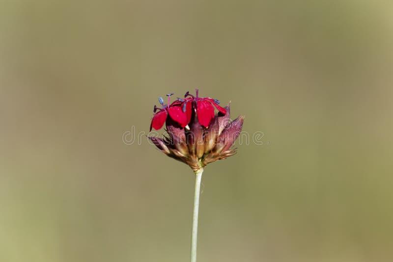 Kartuzjański Różowy Dianthus sanguineus lub Dianthus carthusianorum subsp sanguineus zdjęcie royalty free