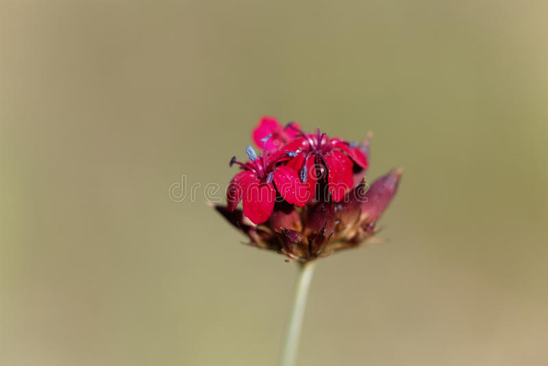 Kartuzjański Różowy Dianthus sanguineus lub Dianthus carthusianorum subsp sanguineus fotografia royalty free
