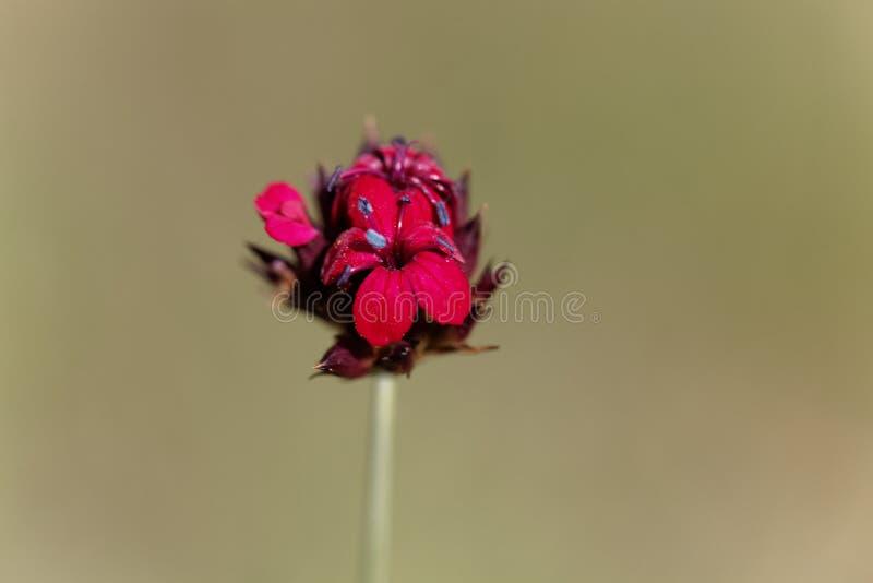 Kartuzjański Różowy Dianthus sanguineus lub Dianthus carthusianorum subsp sanguineus zdjęcia royalty free