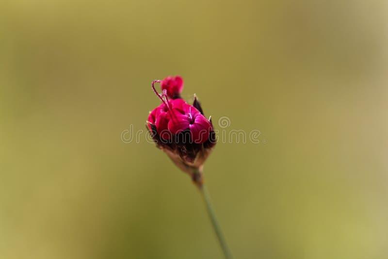 Kartuzjański Różowy Dianthus sanguineus lub Dianthus carthusianorum subsp sanguineus obrazy stock