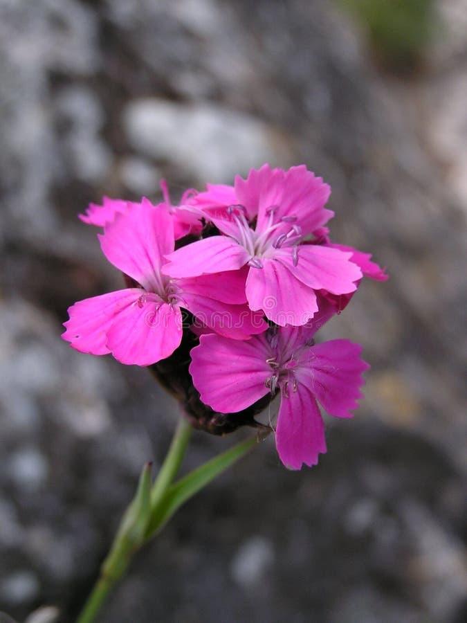 Kartuzjańskie Menchie (Dianthus carthusianorum) zdjęcia stock