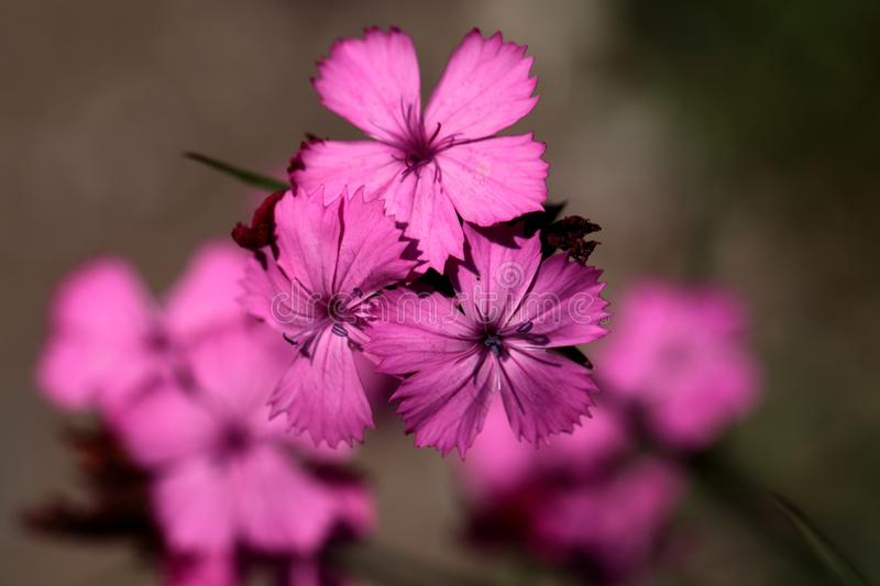 Kartuzjańskie Menchie (Dianthus carthusianorum) obrazy stock