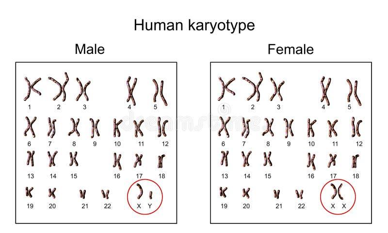 Karyotype masculino e fêmea ilustração stock