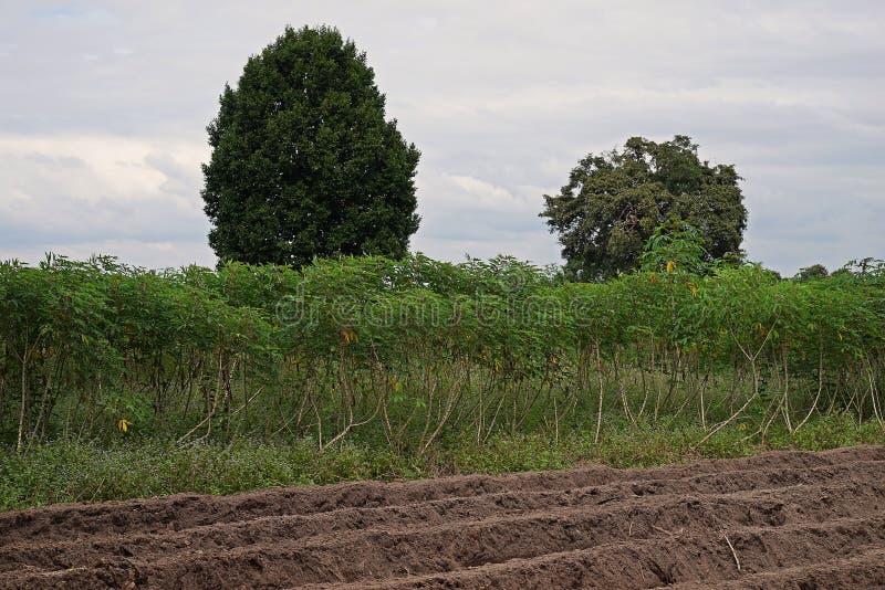 Kasawy pole w rainfed terenie, świrzepy infestation obrazy stock