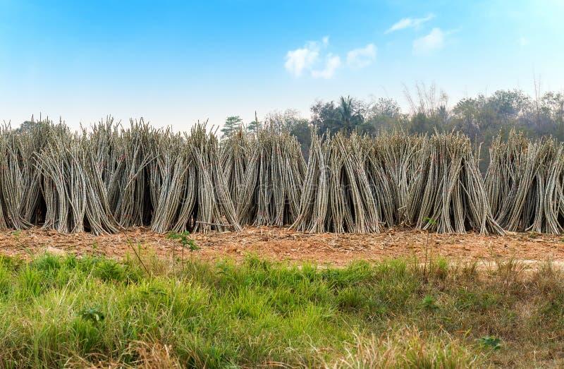 Kasawy roślina przy plantacją zdjęcia stock