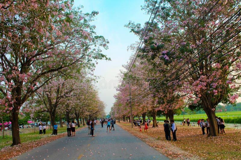 Kasetsart Kamphaeng Saen Uniwersyteccy Różowi Tubowi drzewa fotografia stock