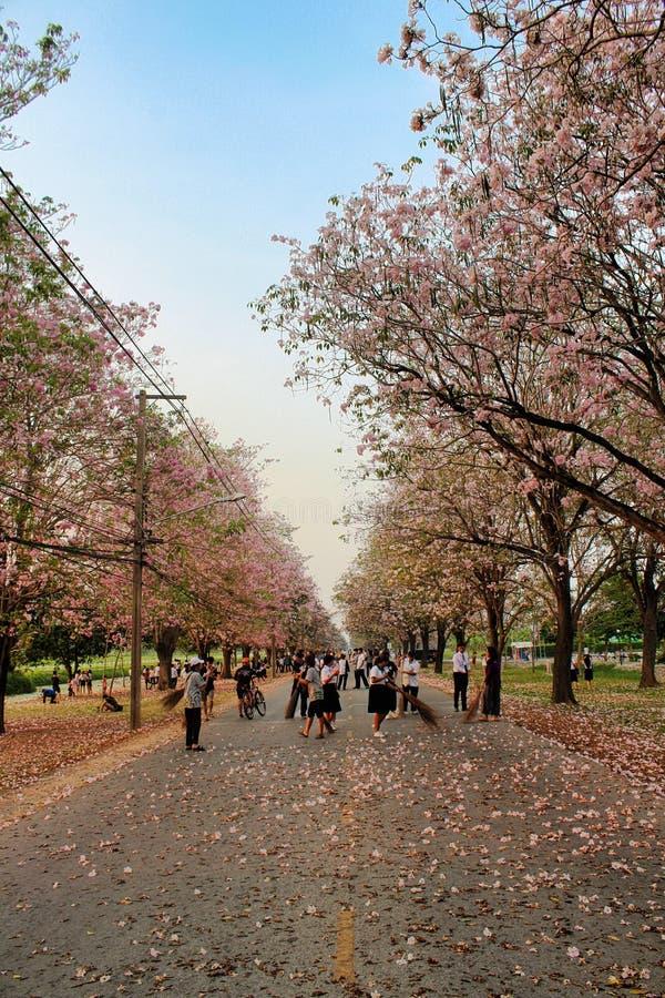 Kasetsart Kamphaeng Saen Uniwersyteccy Różowi Tubowi drzewa zdjęcie royalty free