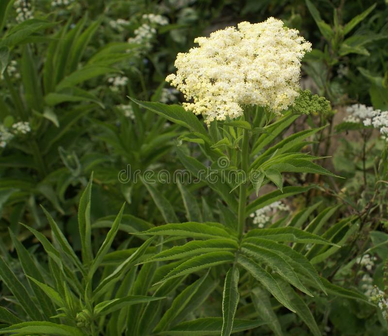Kashmir Elder, Sambucus wightiana. Tall perennial herb with large pinnate compound leaves with decurrent upper leaflets, white flowers in flat topped corymbose stock image