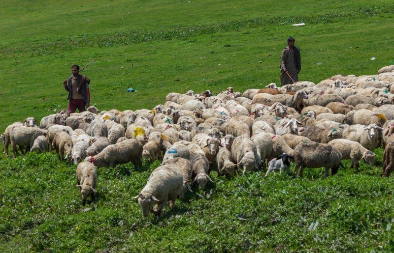 Kashmiri ποιμένας με τη βοσκή προβάτων στοκ εικόνες