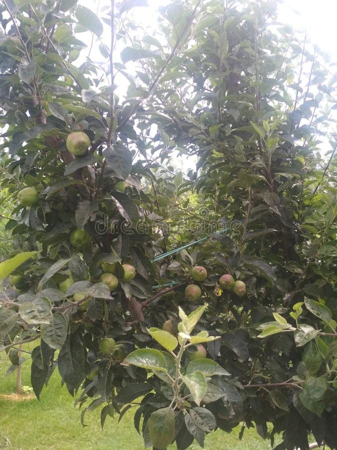 Kashmiriapfel Geschmack der Äpfel leckerer stockbilder