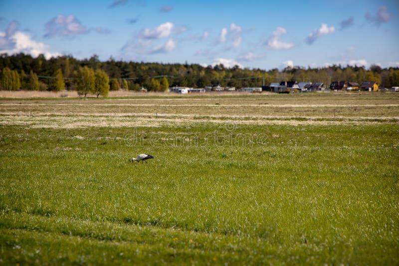 Kashubia polonais de paysage de ressort avec un pré vert avec un ciel bleu avec des nuages et une marche affamée de cigogne photographie stock libre de droits