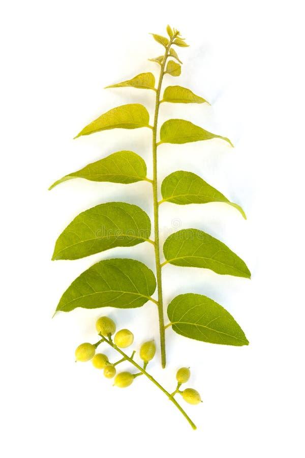Kasji fistuła, znać jako złoty podeszczowy drzewo, canafistula zdjęcia stock