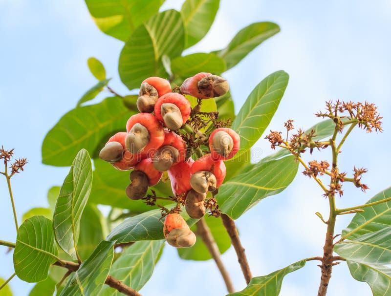 Kasjuer som växer på ett träd denna utöver det vanliga mutter, växer outsi royaltyfria foton