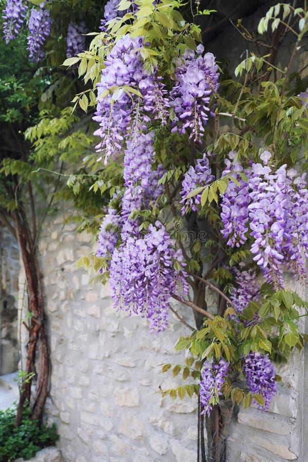 Kaskadowy purpurowy żałość winograd obrazy royalty free