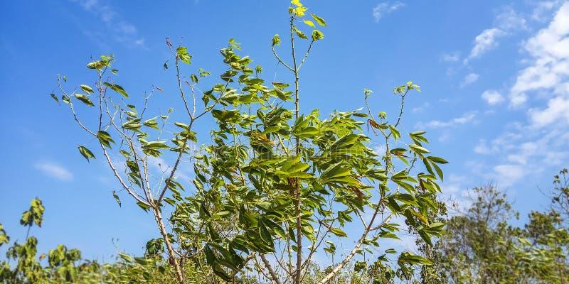 Kassavaväxter och blå himmel arkivbilder