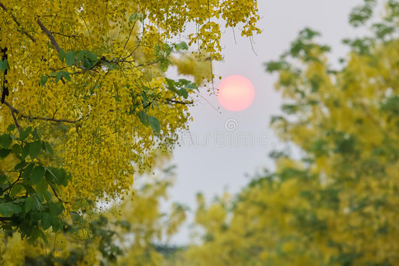 Kassiefistelblumen, goldene Blumenblumen lizenzfreie stockfotografie