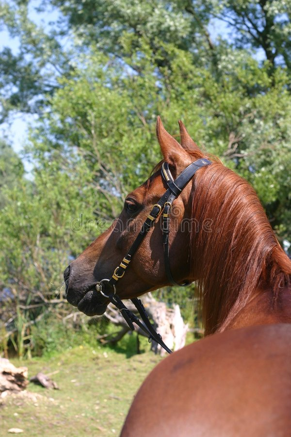 Kastanie-Araberpferd stockfoto