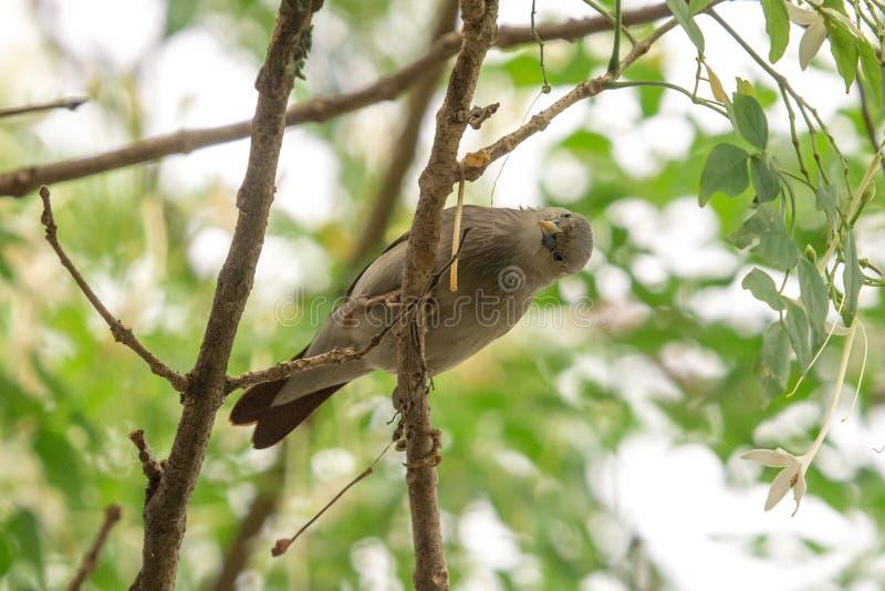 Kastanie band Starling Sturnia-malabarica an, das auf Niederlassung im Garten hockt lizenzfreie stockfotografie