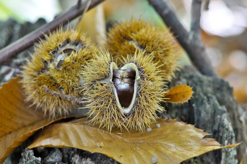 Kastanie, Früchte des Herbstes, Farben des Herbstes lizenzfreies stockfoto