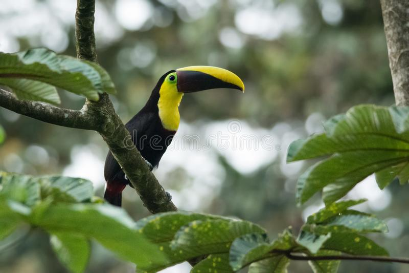 Kastanie-mandibled Toucan