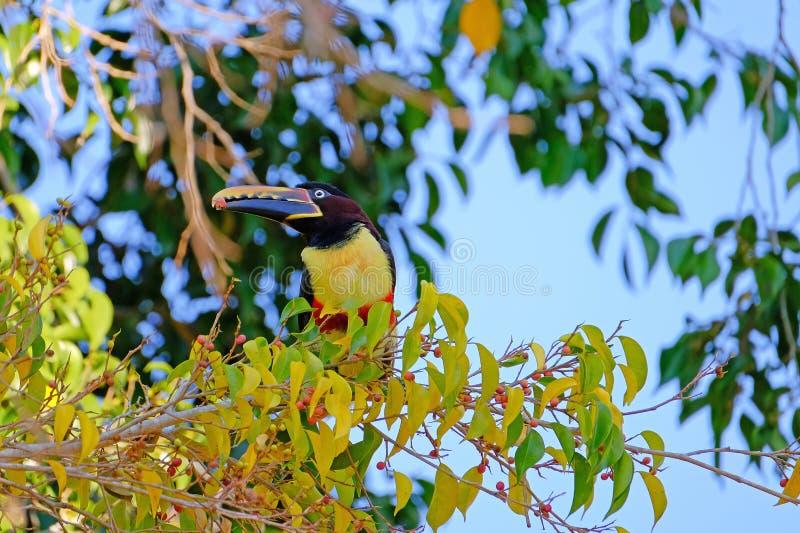 Kastanie-ohriges Aracari, Pteroglossus Castanotis, Vogel der Tukanfamilie, Ramphastidae, Mato Grosso, Pantanal, Brasilien lizenzfreie stockbilder