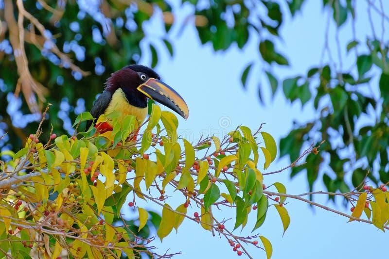 Kastanie-ohriges Aracari, Pteroglossus Castanotis, Vogel der Tukanfamilie, Ramphastidae, Mato Grosso, Pantanal, Brasilien stockfotografie
