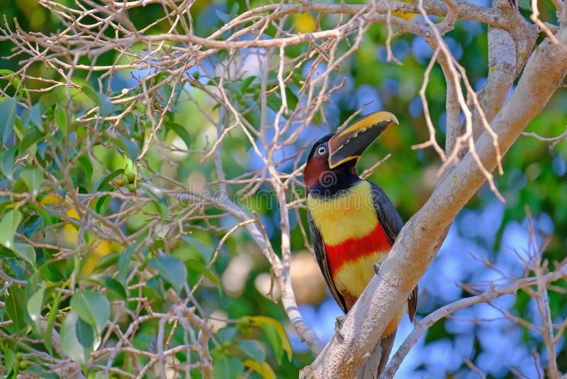 Kastanie-ohriges Aracari, Pteroglossus Castanotis, Vogel der Tukanfamilie, Ramphastidae, Mato Grosso, Pantanal, Brasilien lizenzfreies stockbild