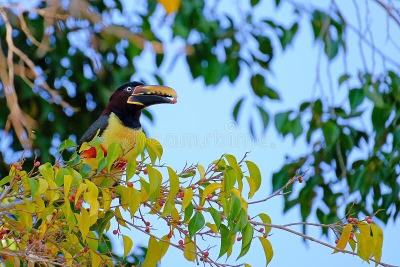 Kastanie-ohriges Aracari, Pteroglossus Castanotis, Vogel der Tukanfamilie, Ramphastidae, Mato Grosso, Pantanal, Brasilien lizenzfreie stockfotografie