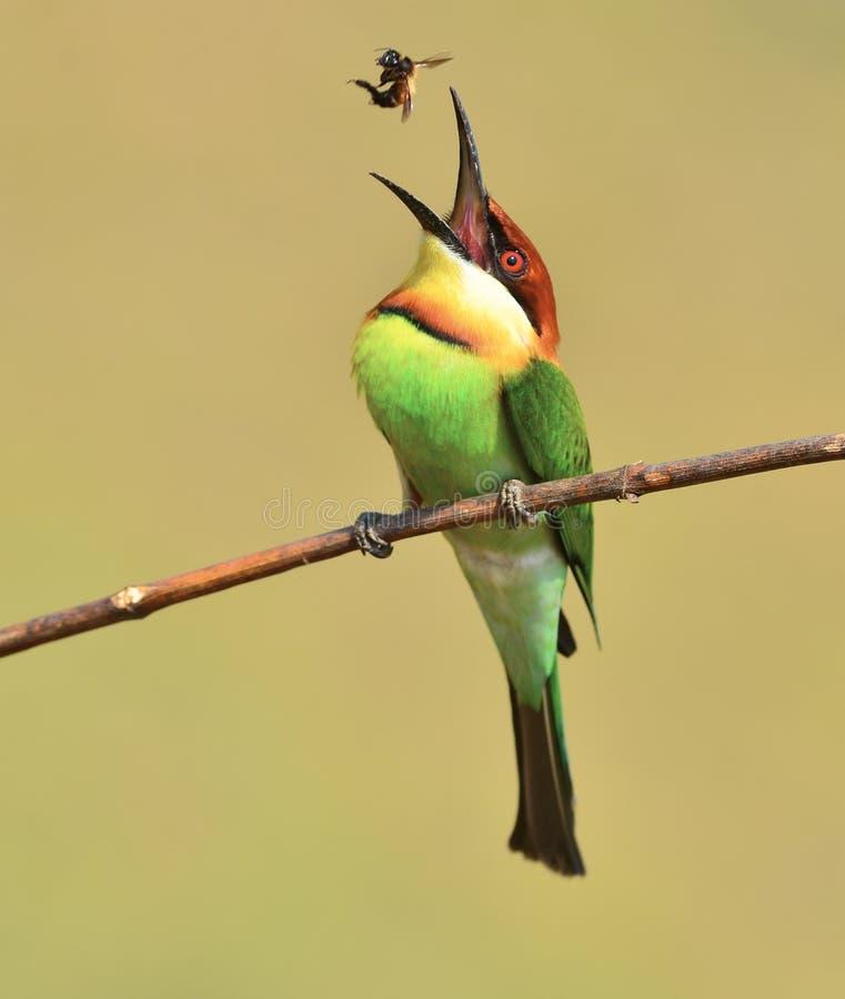Kastanie-vorangegangene Bee-eaters lizenzfreies stockfoto