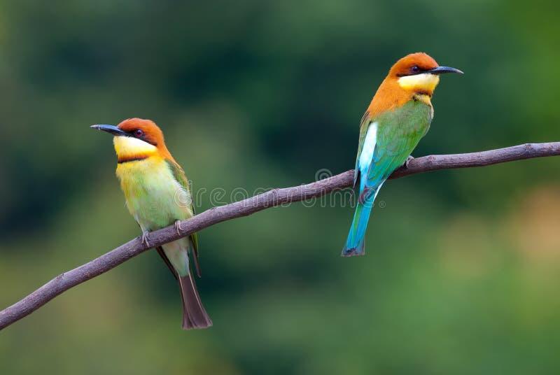 Kastanie-vorangegangener Bee-eater stockfotos