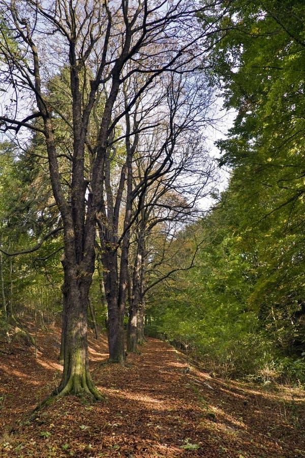 Kastaniebäume stockfotografie