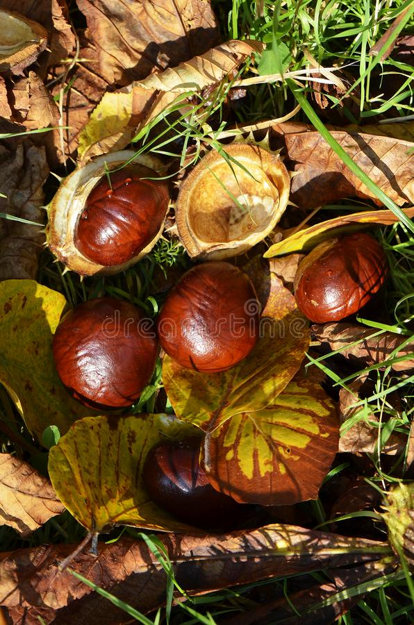 Kastanien Aesculus Hippocastanum stockbild