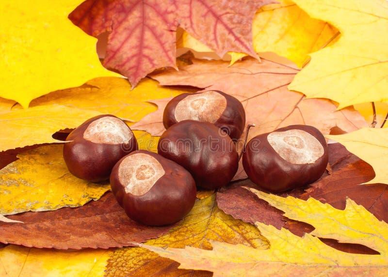 Kastanien, die auf Herbstlaub liegen stockbild