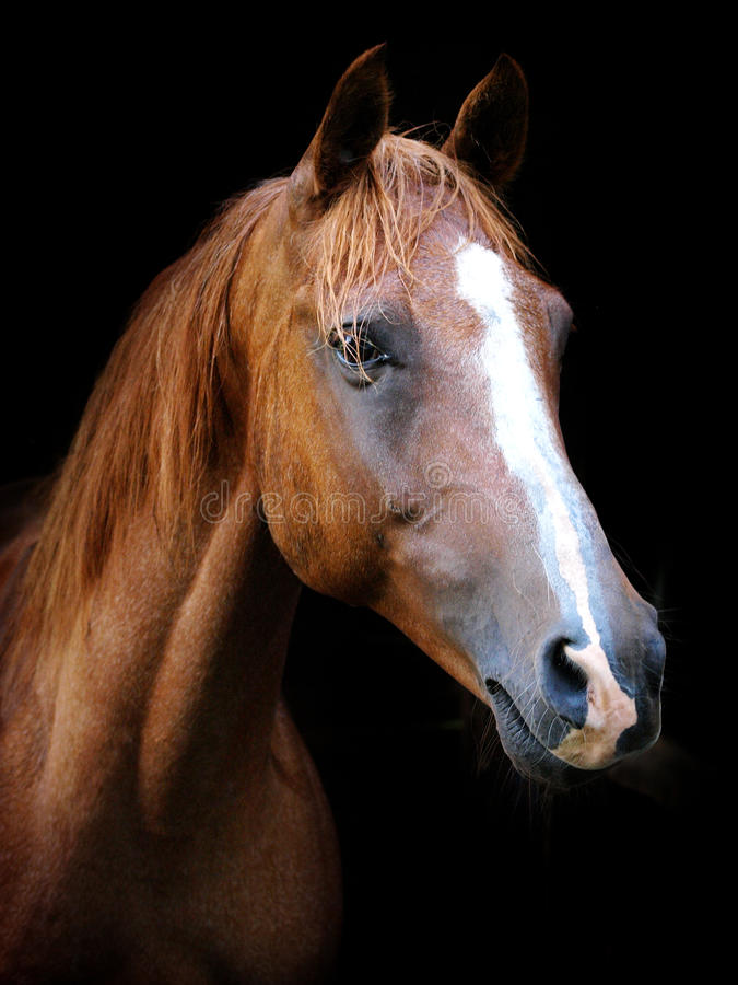 Kastanien-Pferdekopf lizenzfreies stockfoto