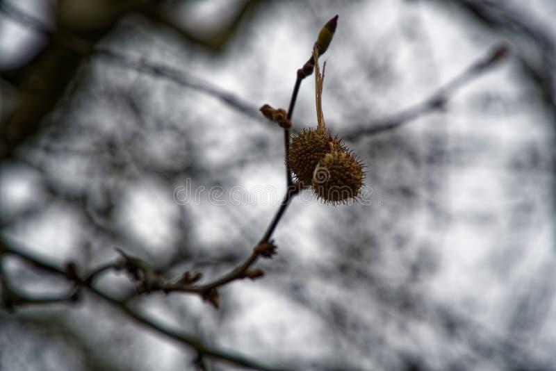 Kastanienbäume und reife Kastanien essen, die gebraten werden können oder gegessenes rohes stockfotos