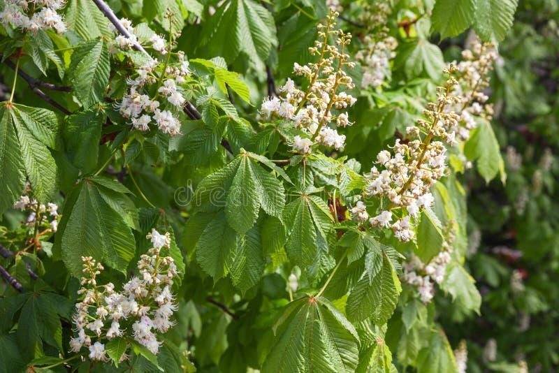 Kastanienbaum in der Blüte, weiße Blumen stockbild