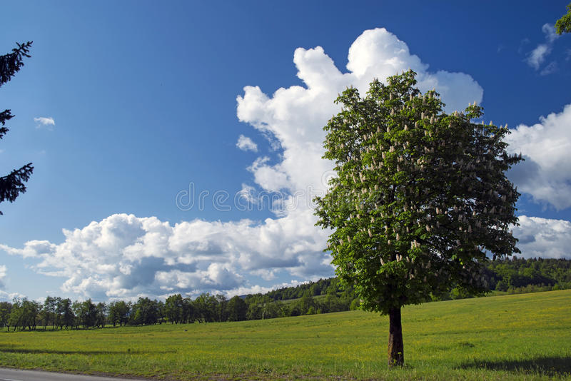 Kastanienbaum im Frühjahr lizenzfreie stockfotos