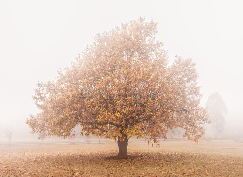 Kastanienbaum im Herbst eingehüllt in Nebel lizenzfreies stockbild