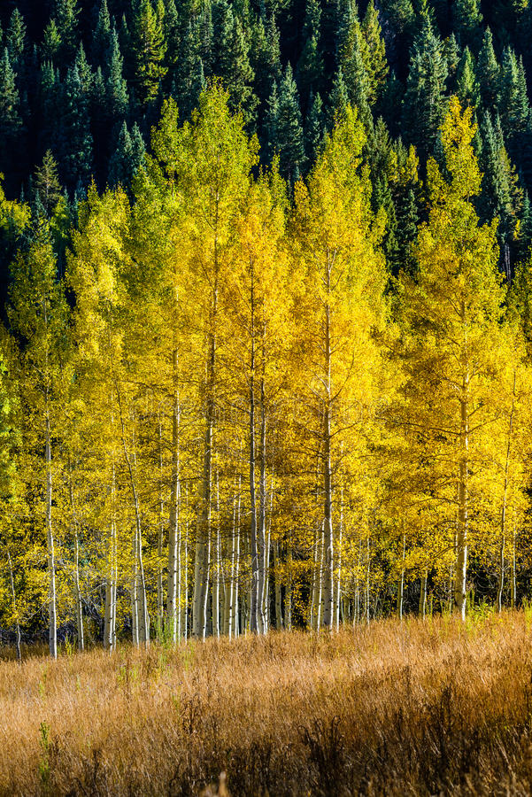 Kastanienbrauner Glockenwald - Colorado-Espenherbst-Fallfarben lizenzfreies stockbild
