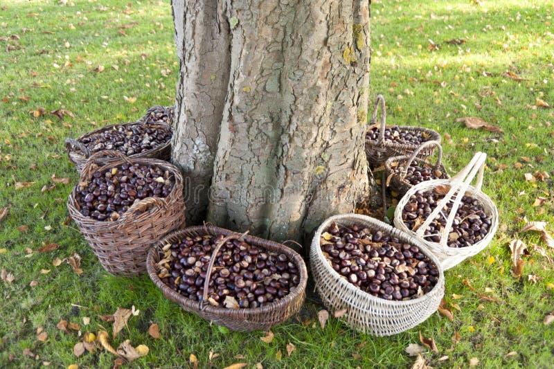 Kastanienkörbe um einen Kastanienbaum lizenzfreie stockfotos