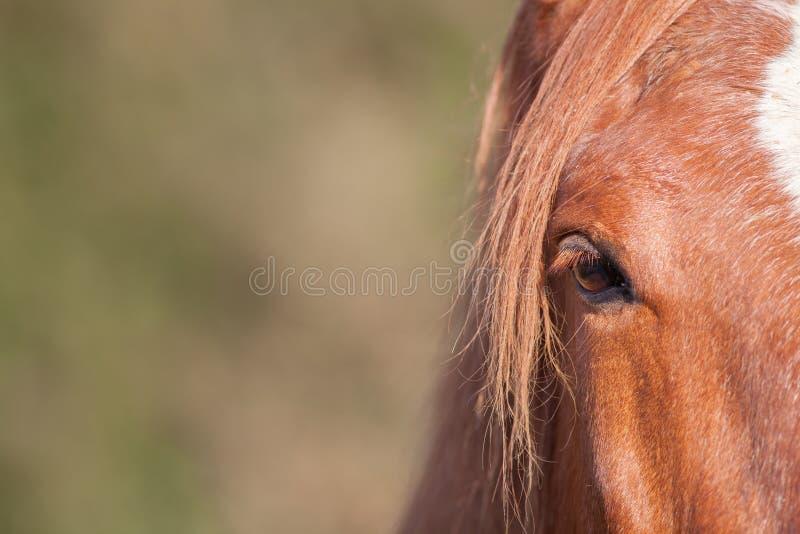 Kastanienpferdeauge in der Nahaufnahme Pferdeartiges Plakatbild mit Kopien-SP stockfoto
