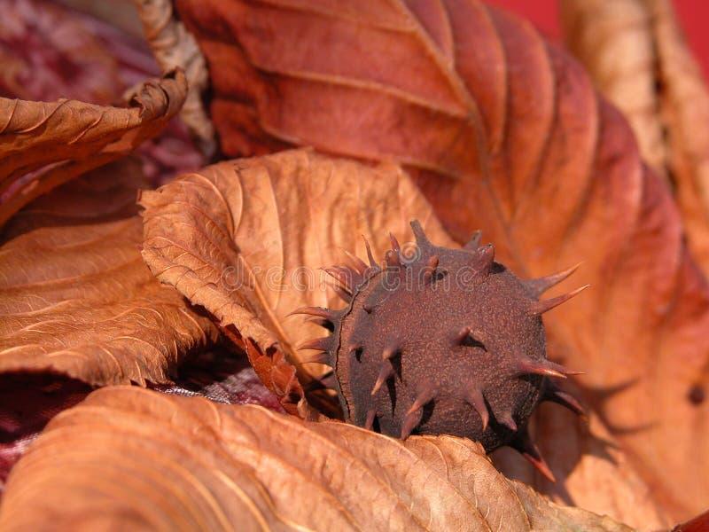 Download Kastanj arkivfoto. Bild av natur, castor, tree, kastanjer - 245650