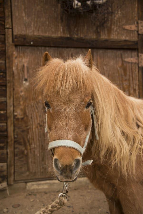 Kastanj för häst för Shetland ponny med den långa man- och halterståenden royaltyfria bilder