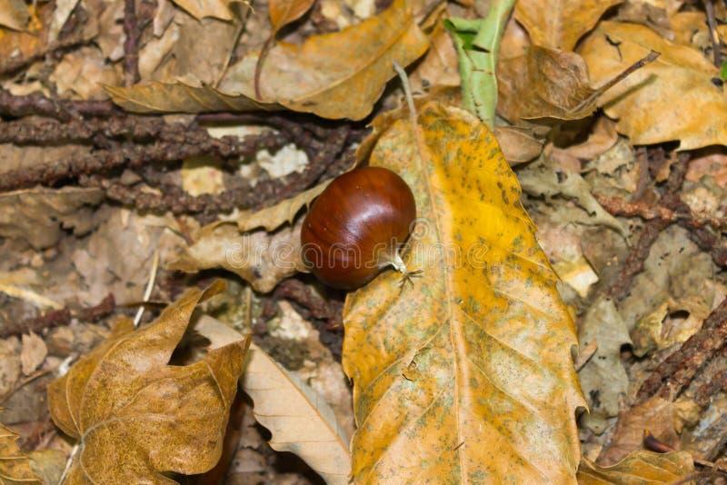 kastanj på jordningen i skogen arkivbilder