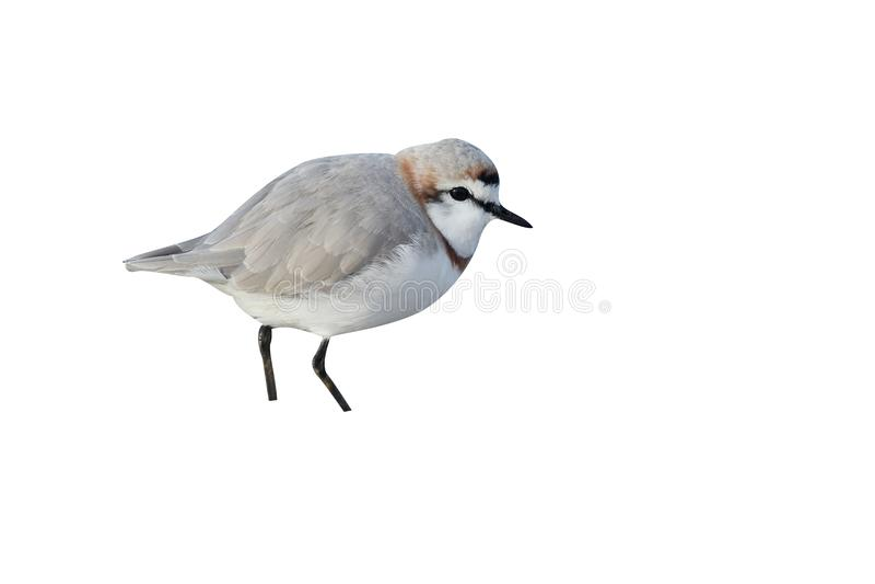 Kastanj-satt band brockfågel, Charadriuspallidus royaltyfria bilder