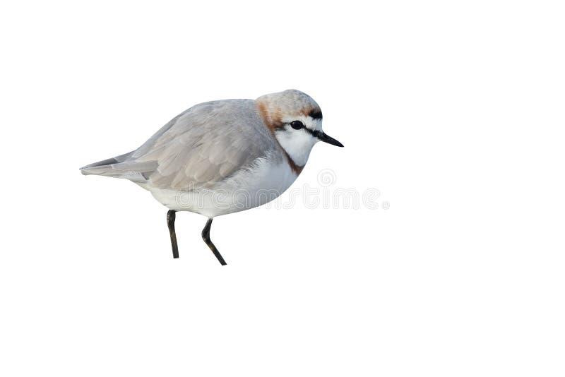 Kastanj-satt band brockfågel, Charadriuspallidus royaltyfri bild